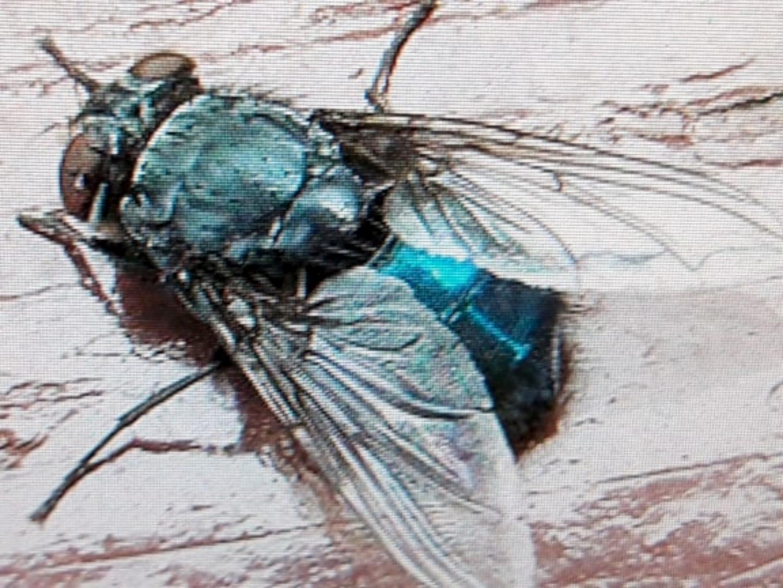 Afb. Volwassen vleesvlieg