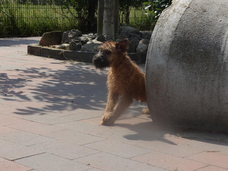 Afb. Puppy, Irish Softcoated Wheaten Terriër