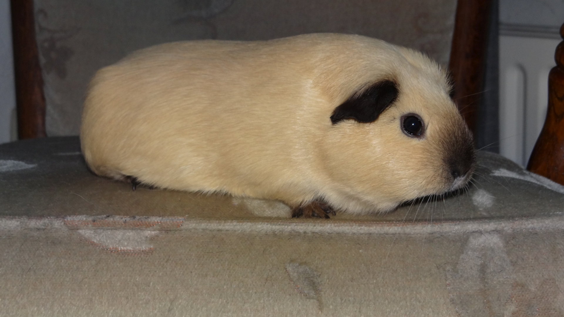 Afb. California cavia